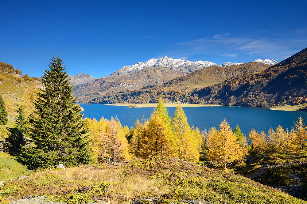 Golden larches in front of Lake Sils with the village of Isola and Piz Corvatsch (3451 m), Engadin, Grisons, Switzerland