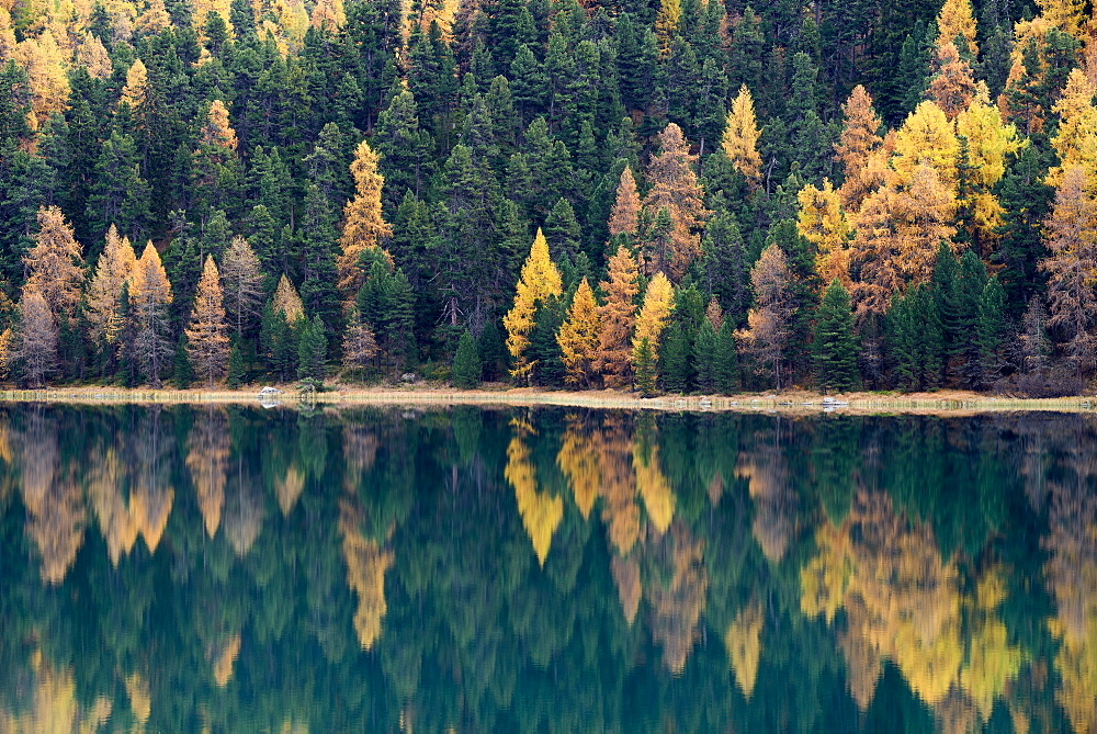 Reflection of golden larches in a lake, Engadin, Grisons, Switzerland