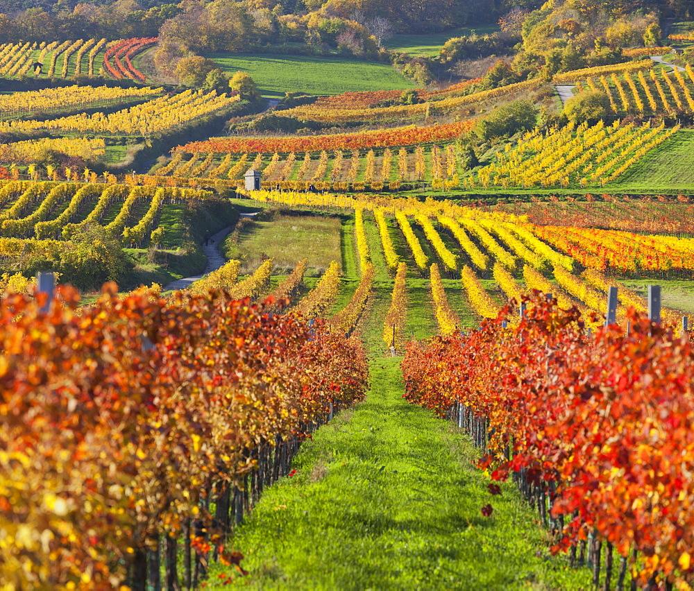 Autumnal vines, vineyards, Baden near Vienna, Southern Wiener Becken, Wienerwald, Lower Austria, Austria