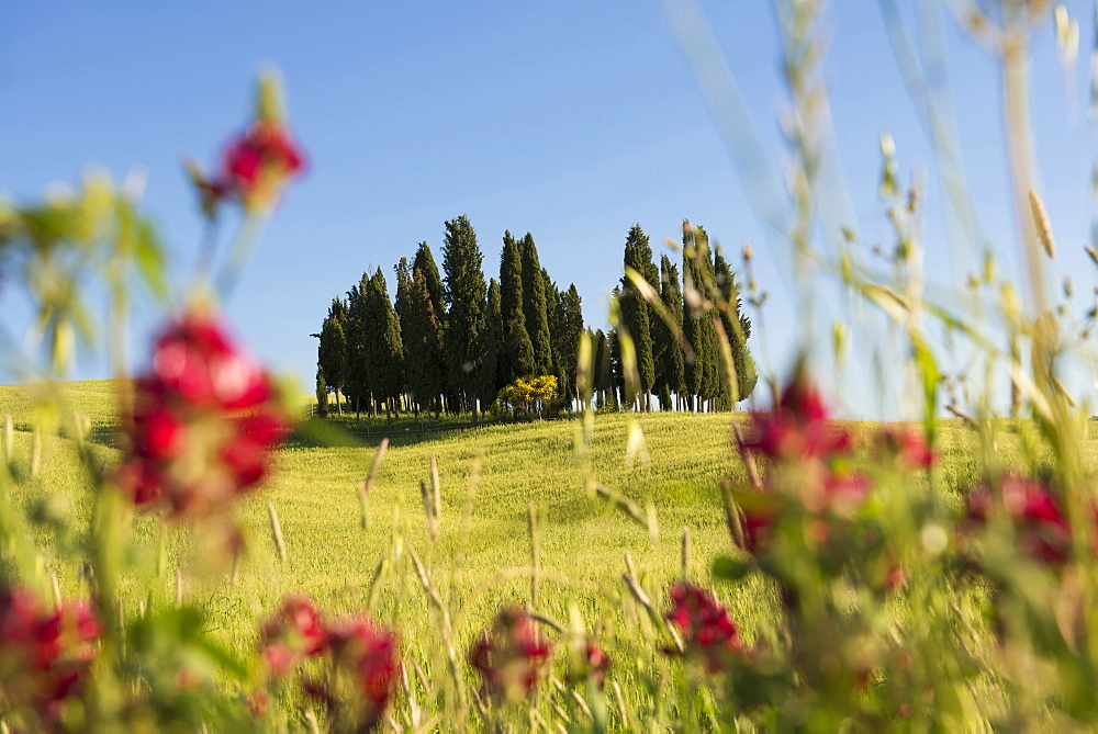 cypress trees, near San Quirico d`Orcia, Val d`Orcia, province of Siena, Tuscany, Italy, UNESCO World Heritage