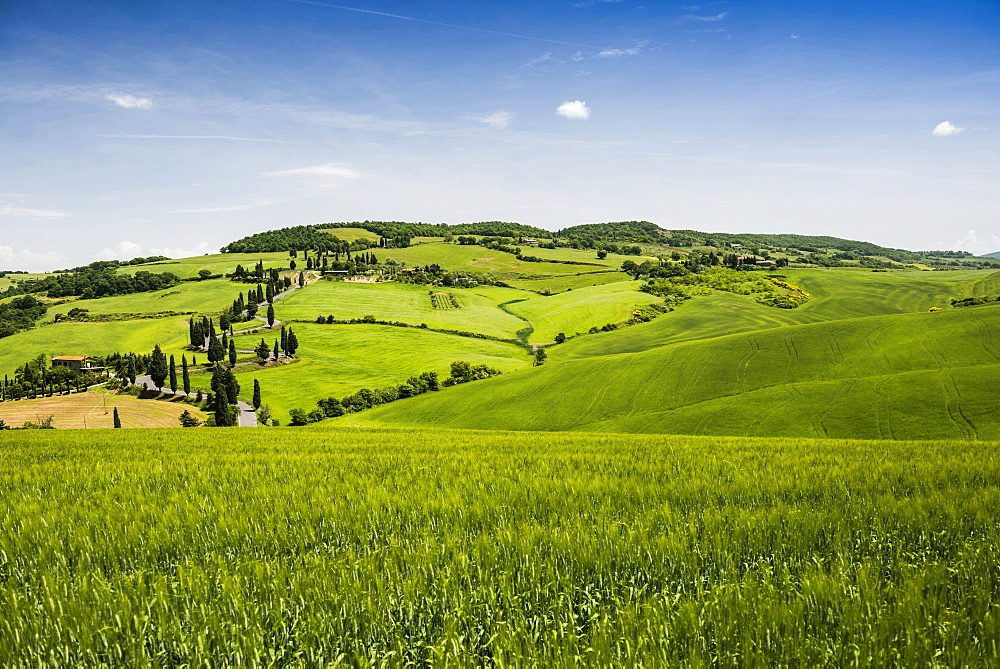 cypress trees, Monticchiello, near Pienza, Val d`Orcia, province of Siena, Tuscany, Italy, UNESCO World Heritage