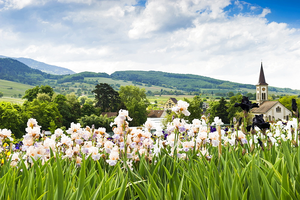 flower meadow with blossoming iris, Laufen near Sulzburg, Markgraeflerland, Black Forest, Baden-Wuerttemberg, Germany