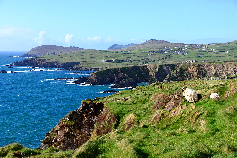 Ram near Dunquin on the west coast of the Dingle peninsula, Kerry, Ireland
