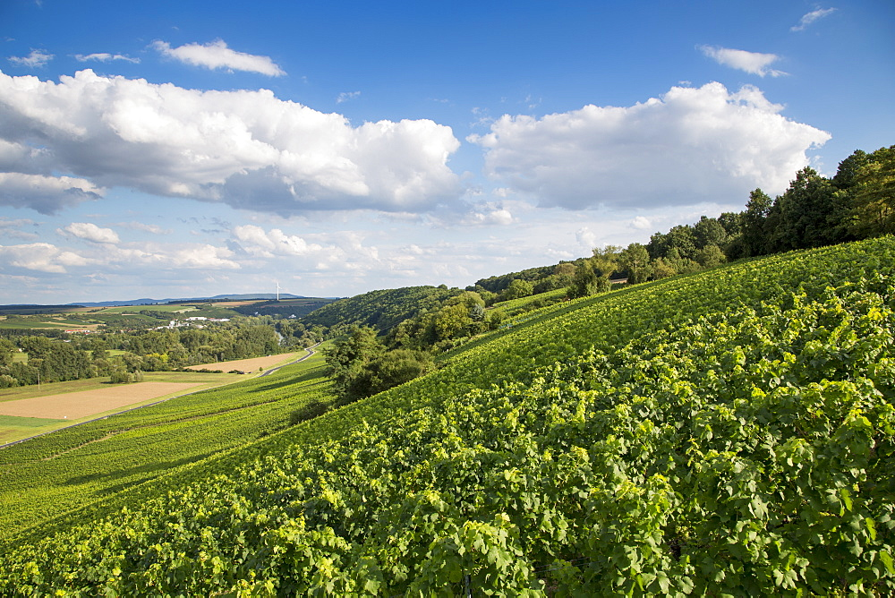 Vines in Maustal vineyard, Sulzfeld am Main, near Kitzingen, Franconia, Bavaria, Germany