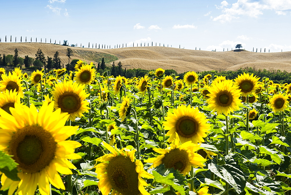 Field full of sunflowers, Crete Senesi, near Siena, Tuscany, Italy
