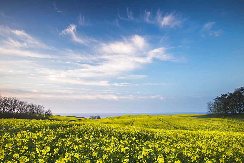 Rape field in blossom at the Baltic Sea, Schwedeneck, Daenischer Wohld, Rendsburg-Eckernfoerde, Schleswig-Holstein, Germany