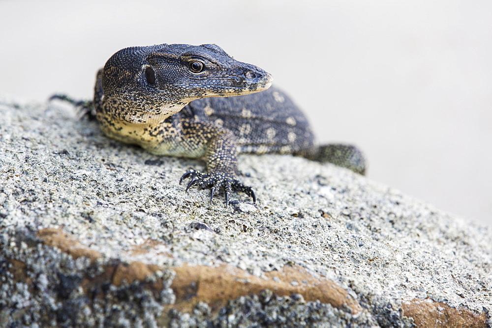 A lizard on the beach, Kota Kinabalu, Borneo, Malaysia.
