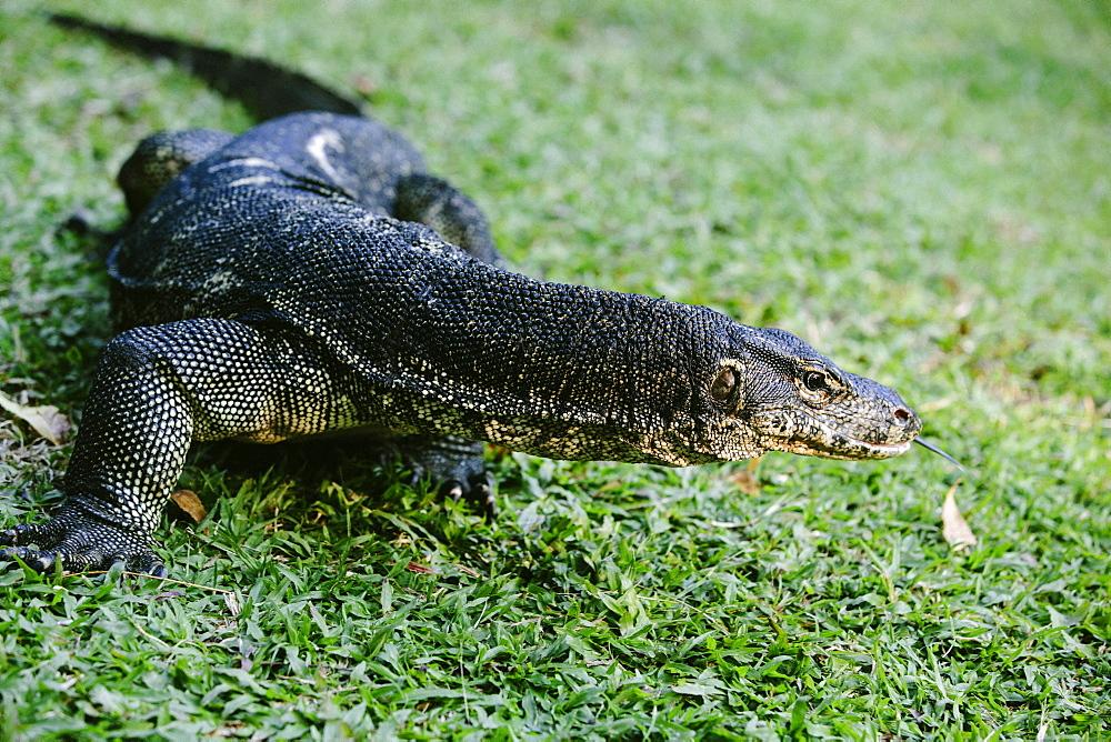 Lizard in the Nexor Resort, Kota Kinabalu, Borneo, Malaysia.