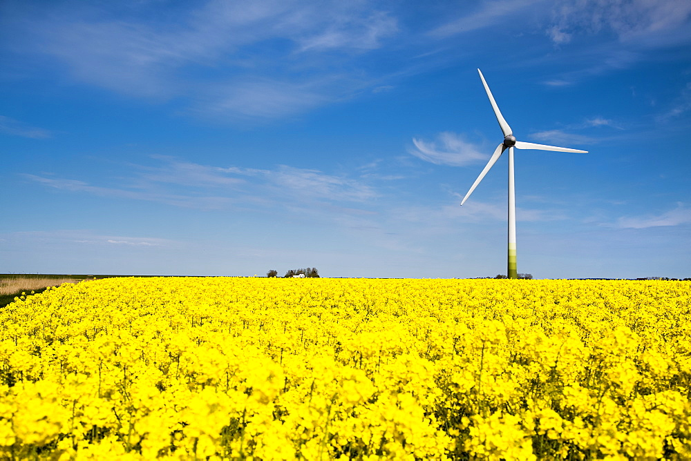 Wind turbine and rape field, Nordstrand Island, North Frisian Islands, Schleswig-Holstein, Germany
