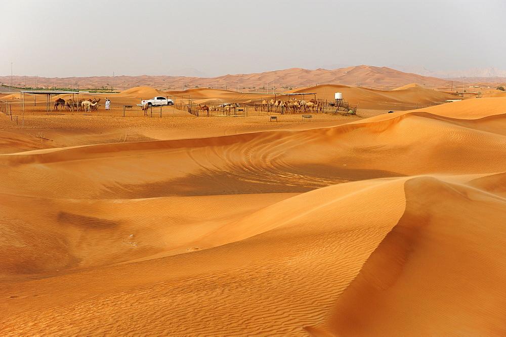 Camels in the desert near Dubai, United Arab Emirates