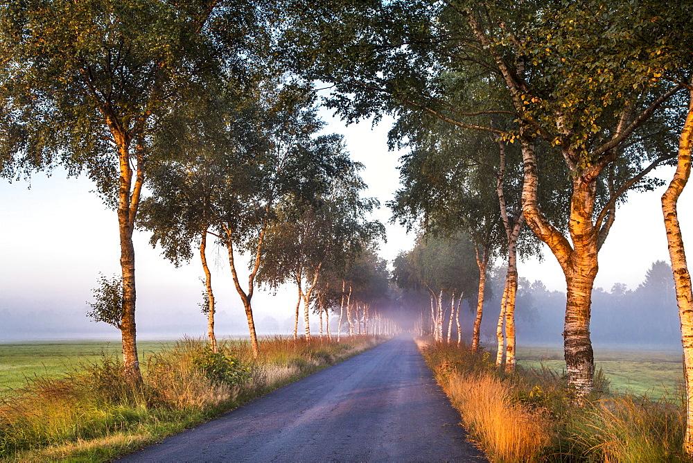 Birch tree alley, Worpswede, Teufelsmoor, Lower Saxony, Germany