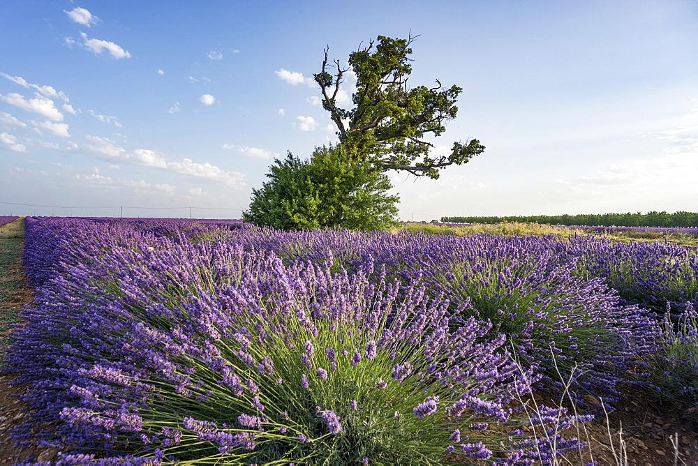 Lavender field, Lavandula angustifolia, Tree, Plateau de Valensole, Provence-Alpes-Cote d'Azur, France