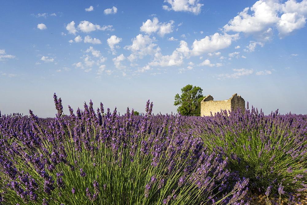 Lavender Field, Lavandula angustifolia, Plateau de Valensole, Provence-Alpes-Cote d'Azur, France