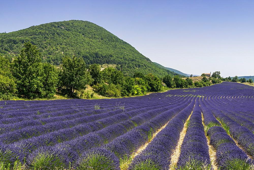 Lavender field with chapel, Montagne de Lure, Vaucluse, Provence-Alpes-Cote d'Azur, France