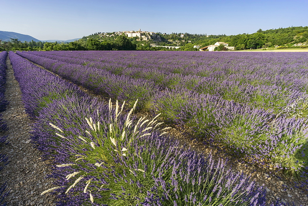 Lavender field near the village of Sault, Alpes-de-Haute-Provence, Provence-Alpes-Cote d'Azur, France