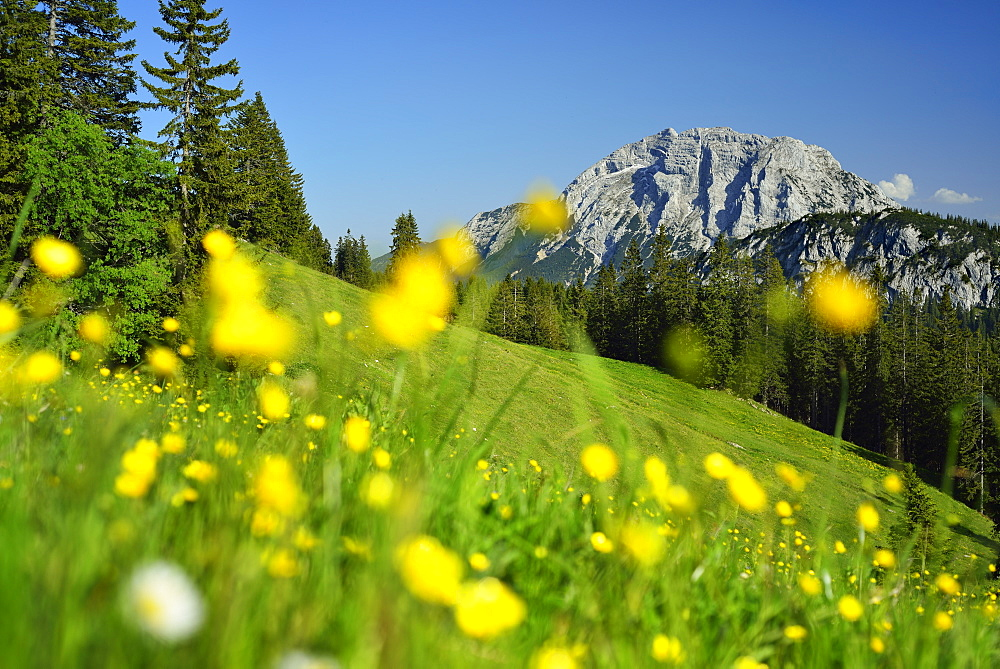 View over flower meadow to Guffert, Blauberge, Bavarian Prealps, Upper Bavaria, Bavaria, Germany