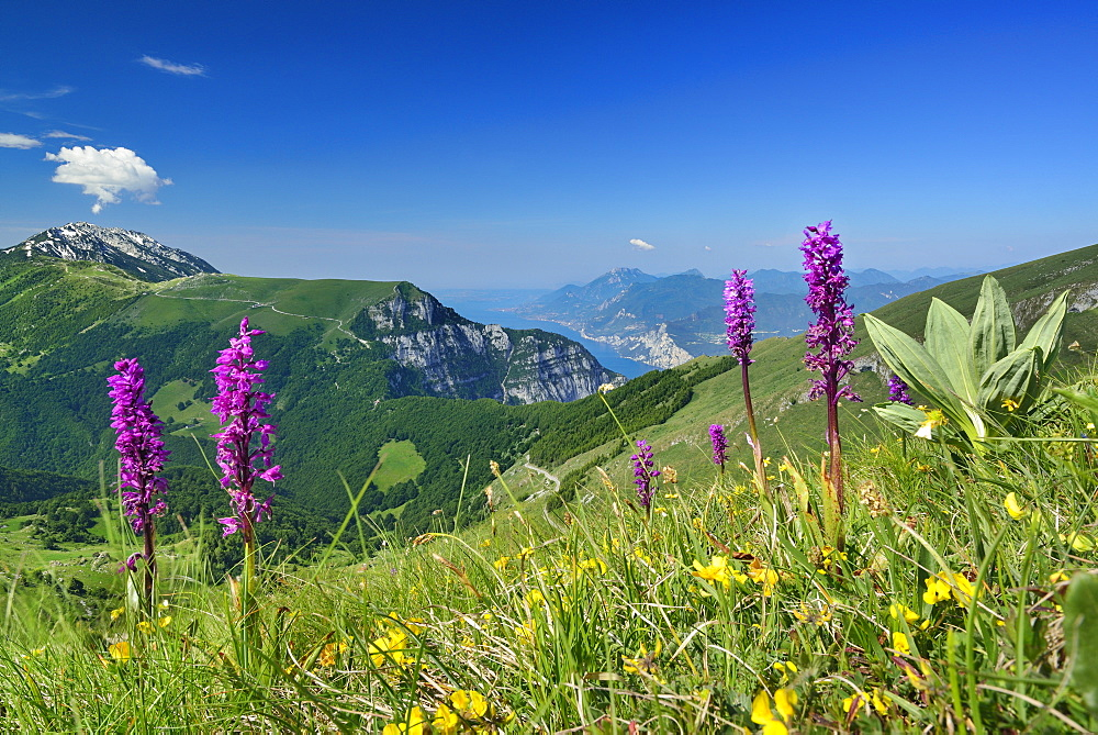 Flower meadow with orchids, Monte Baldo and lake Garda in background, Monte Altissimo, Garda Mountains, Trentino, Italy