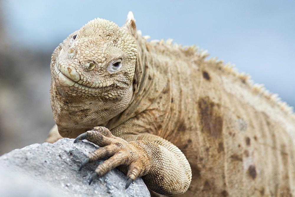 A Galapagos land iguana, Conolophus subcristatus, Santa Fe Island, Galapagos Islands, Ecuador