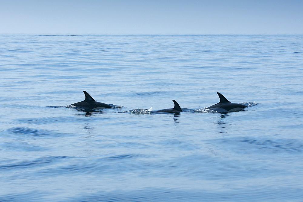 School of dolphins, Sagres, Algarve, Portugal