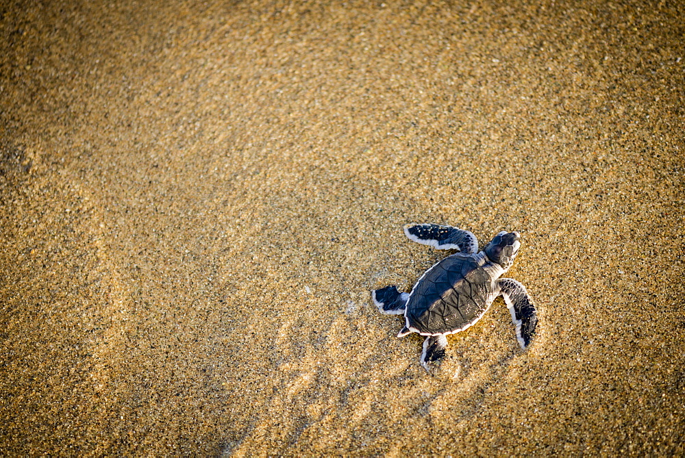 Baby green turtle a green turtle at the beach - Indonesia, Java - 1113-102710