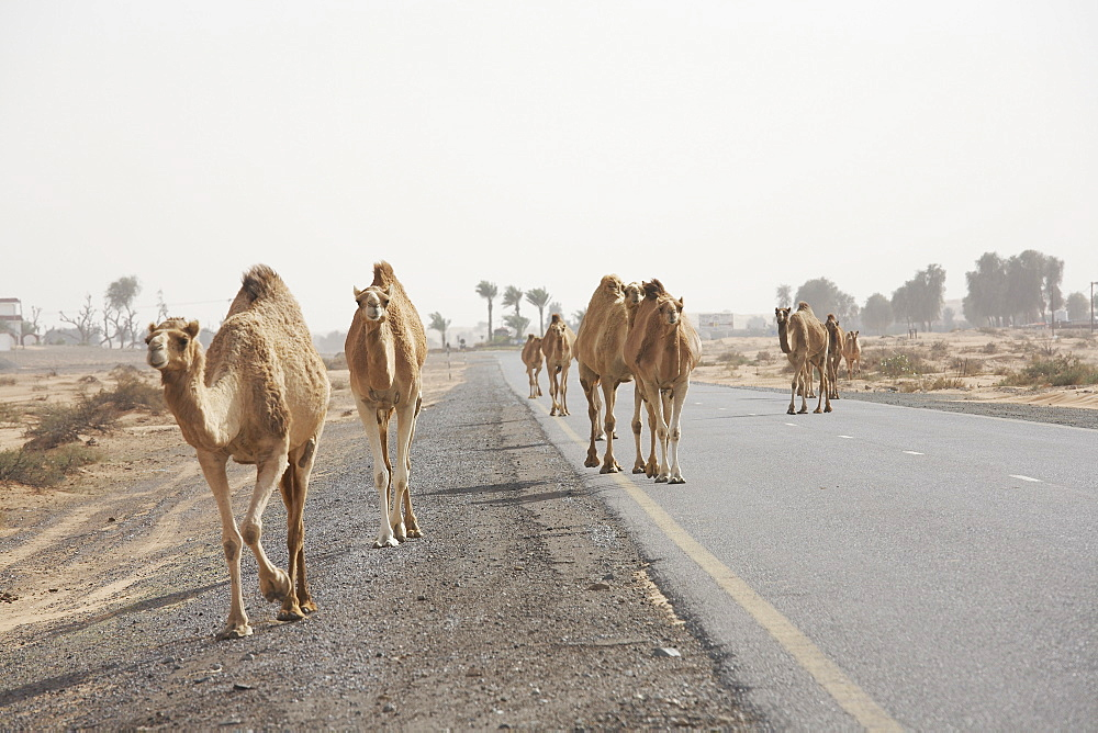 Arabien camels, dromedary on a desert street, Dubai, United Arab Emirates