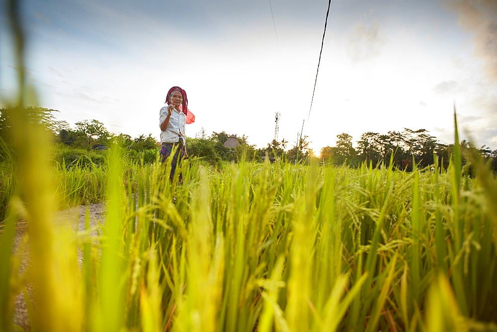 Rice paddy, rice field Penestanan, Bali, Indonesia - 1113-102762