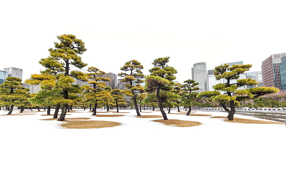Snow and pines trees with skyscrapers around Imperial Palace, Chiyoda-ku, Tokyo, Japan