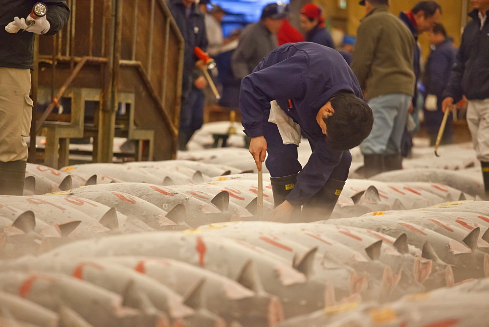 Tuna buyer checking fish before auction at Tsukiji Fish Market, Chuo-ku, Tokyo, Japan - 1113-102798