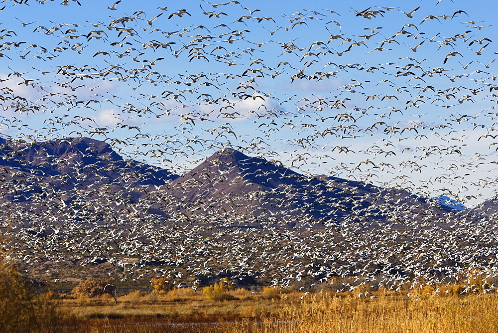 Snow Geese wintering in Bosque del Apache, Anser caerulescens atlanticus, Chen caerulescens, New Mexico, USA - 1113-102969