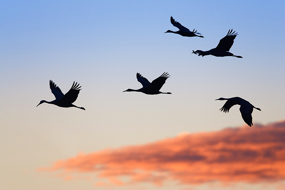 Sandhill Cranes in flight at sunset, Grus canadensis, Bosque del Apache Wildlife Refuge, New Mexico, USA