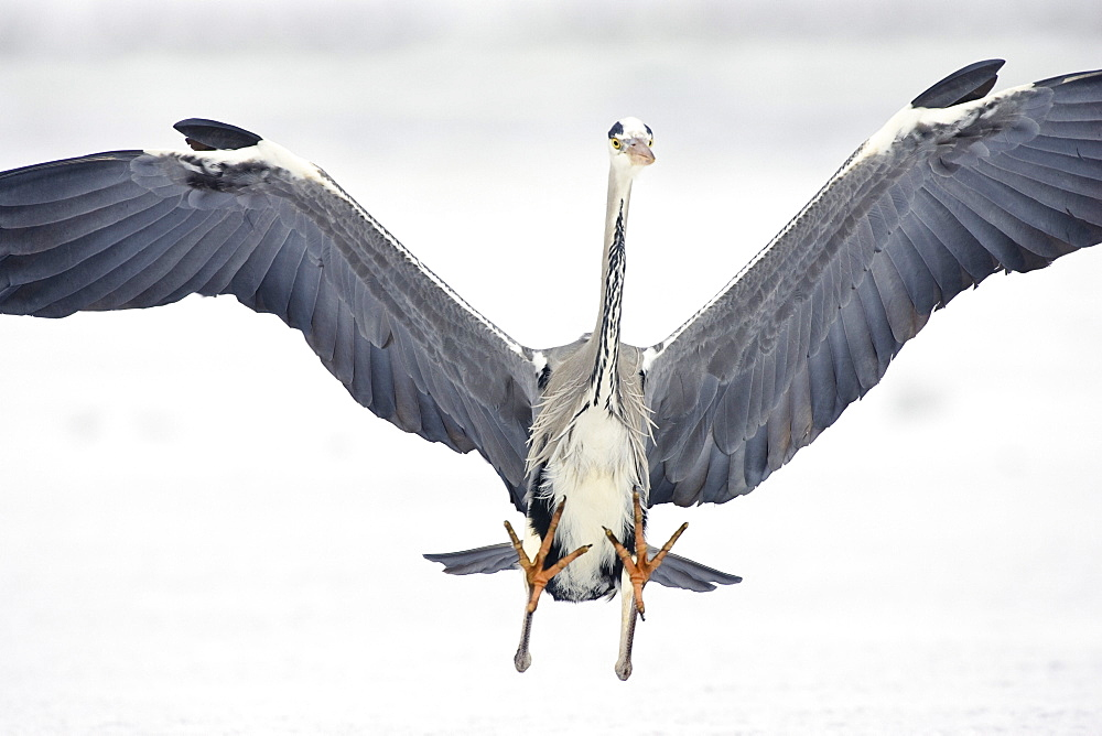Grey Heron landing, Ardea cinerea, Usedom, Germany