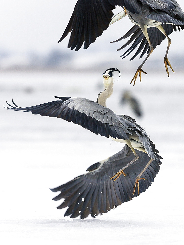 Grey Herons fighting about fish, Ardea cinerea, Usedom, Germany, Europe