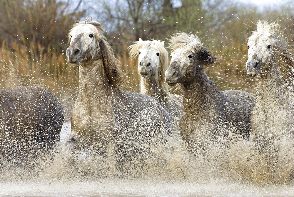 Camargue horses running in water, Camargue, Southern France