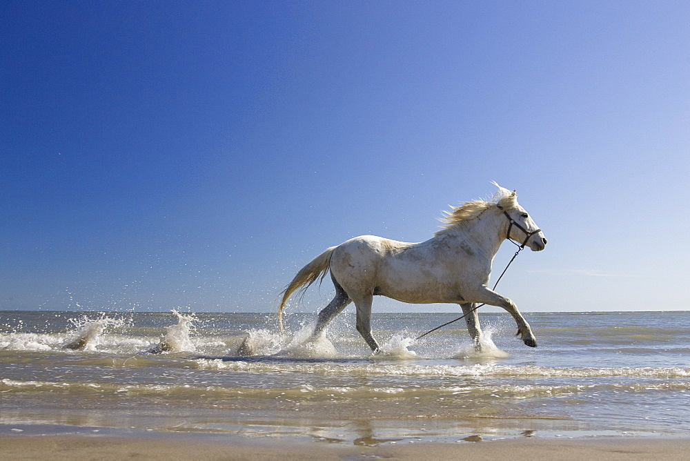Camargue horse running in water at beach, Camargue, France