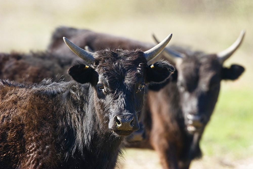 Young Camargue Bulls, Bos primigenius taurus, Camargue, France