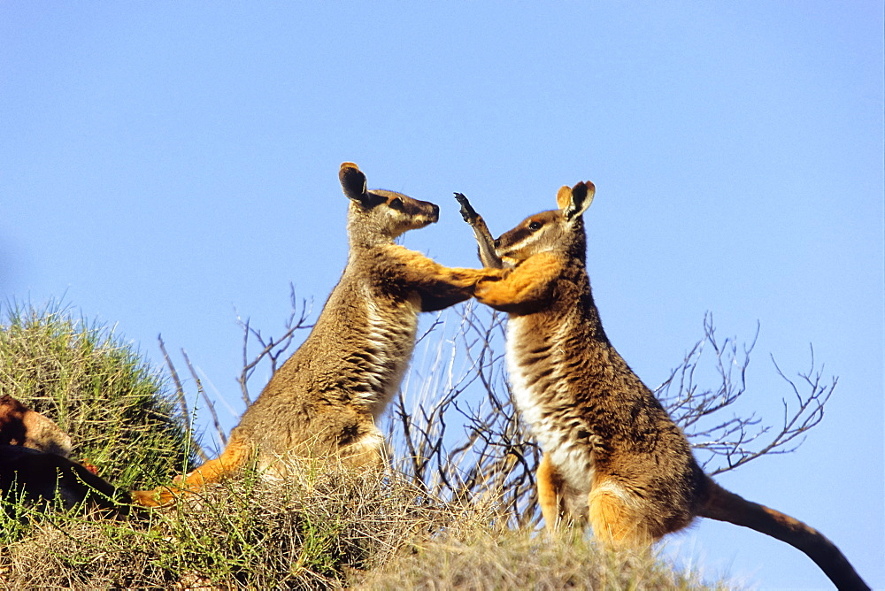 Yellow-footed Rock-Wallabies fighting, Petrogale xanthopus, Flinders Ranges Nationalpark, South Australia
