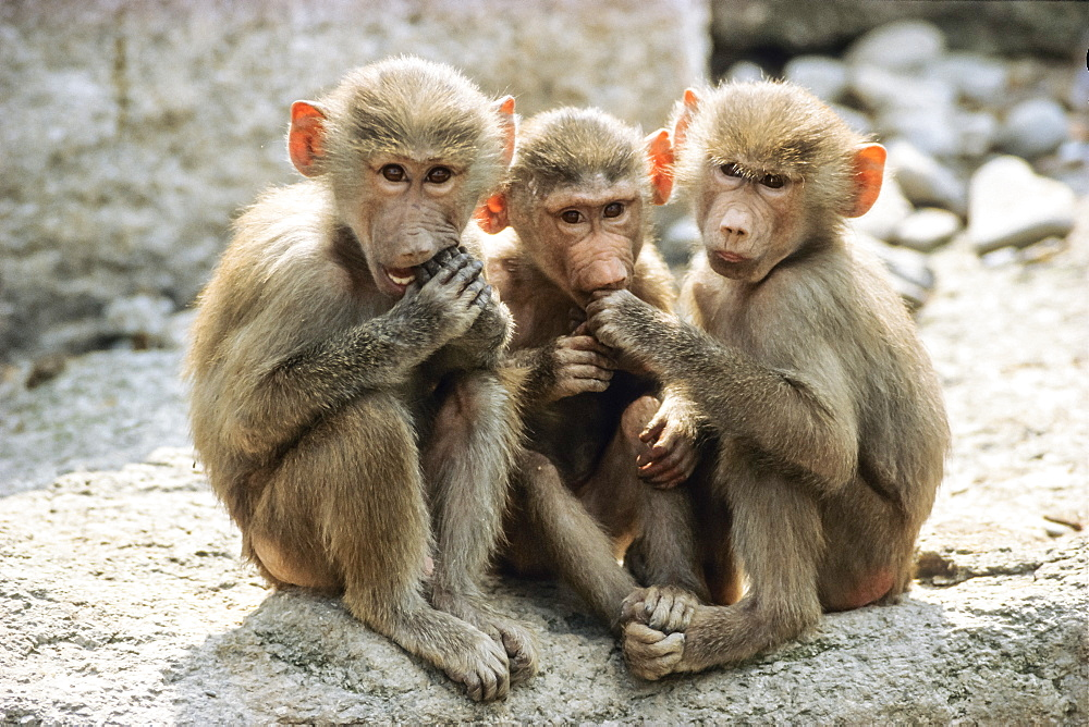 Three young Baboons, Papio hamadryas, Africa, captive