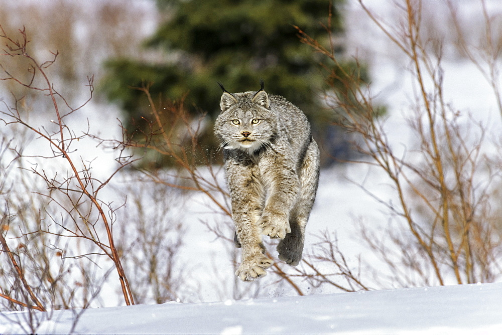 Canada Lynx in snow, Lynx canadensis, North-America