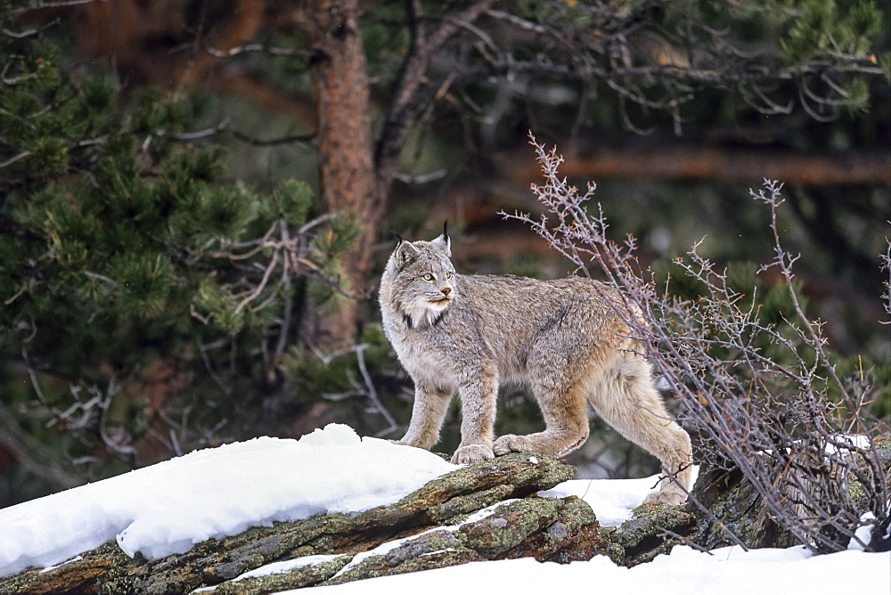 Canada Lynx in snow, Lynx canadensis, North-America - 1113-103010