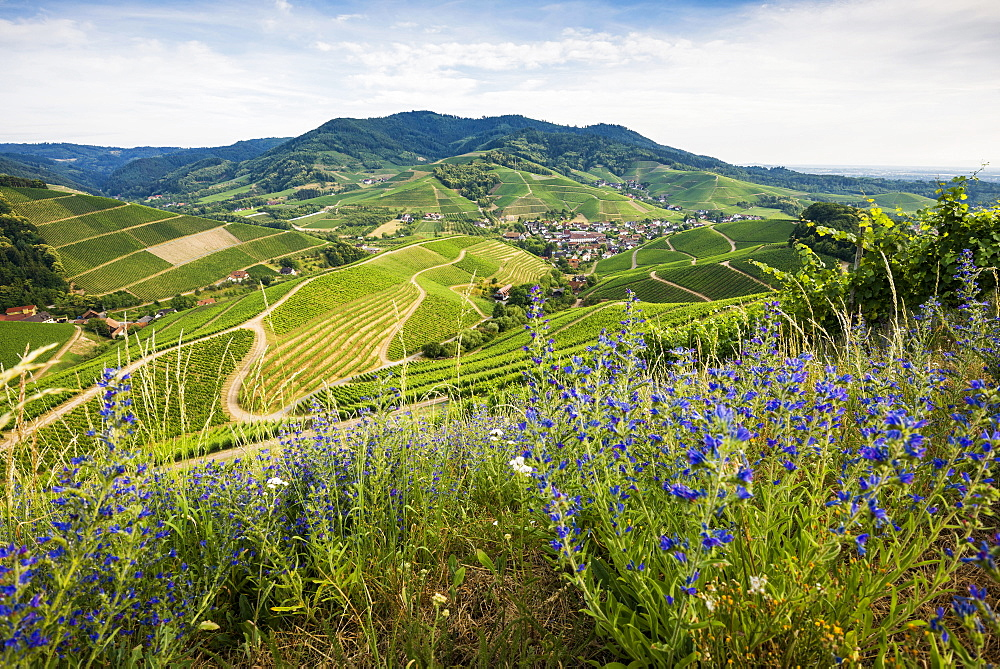 Vineyards, Durbach, Ortenau, Black Forest, Baden-Wuerttemberg, Germany