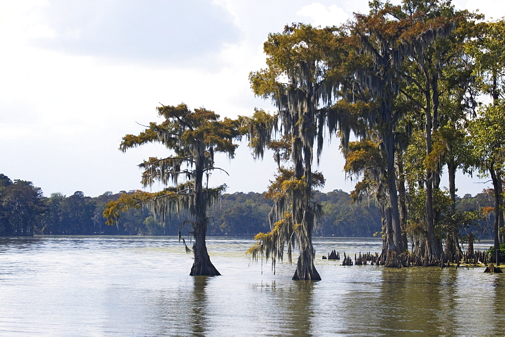 Old cedar trees with spanish moss, on the edge of a bayou, Attakapas Landing on Lake Verret, near Pierre Part, Louisiana, USA