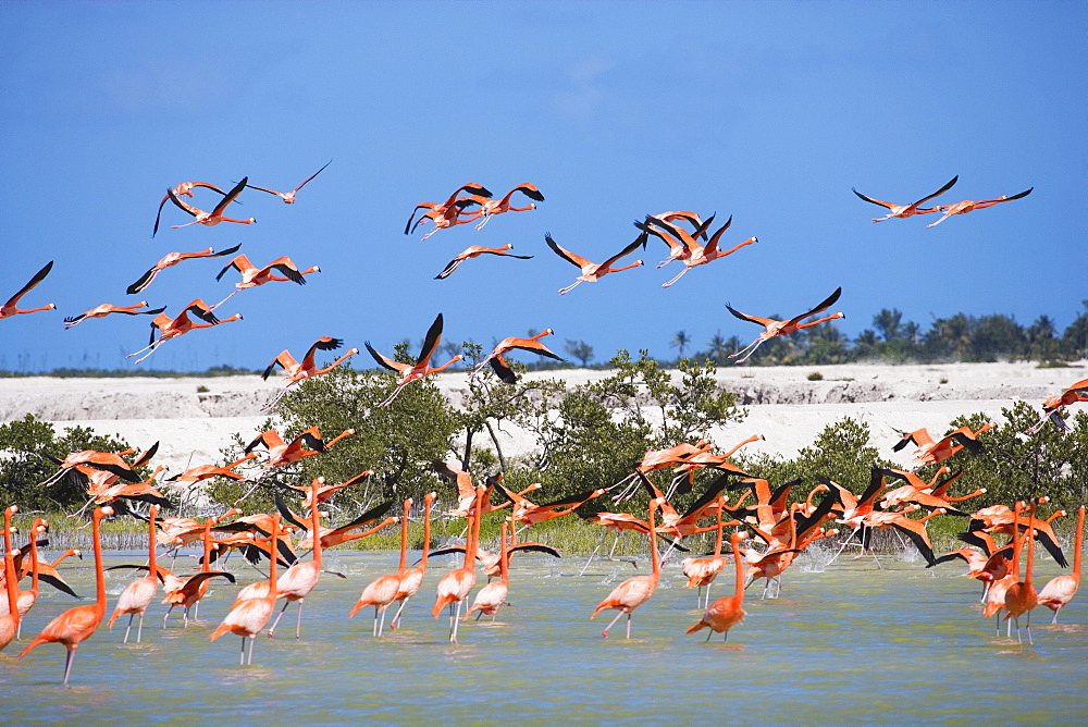 Colony of flamingos at Rio Lagartos, State of Yucatan, Peninsula Yucatan, Mexico