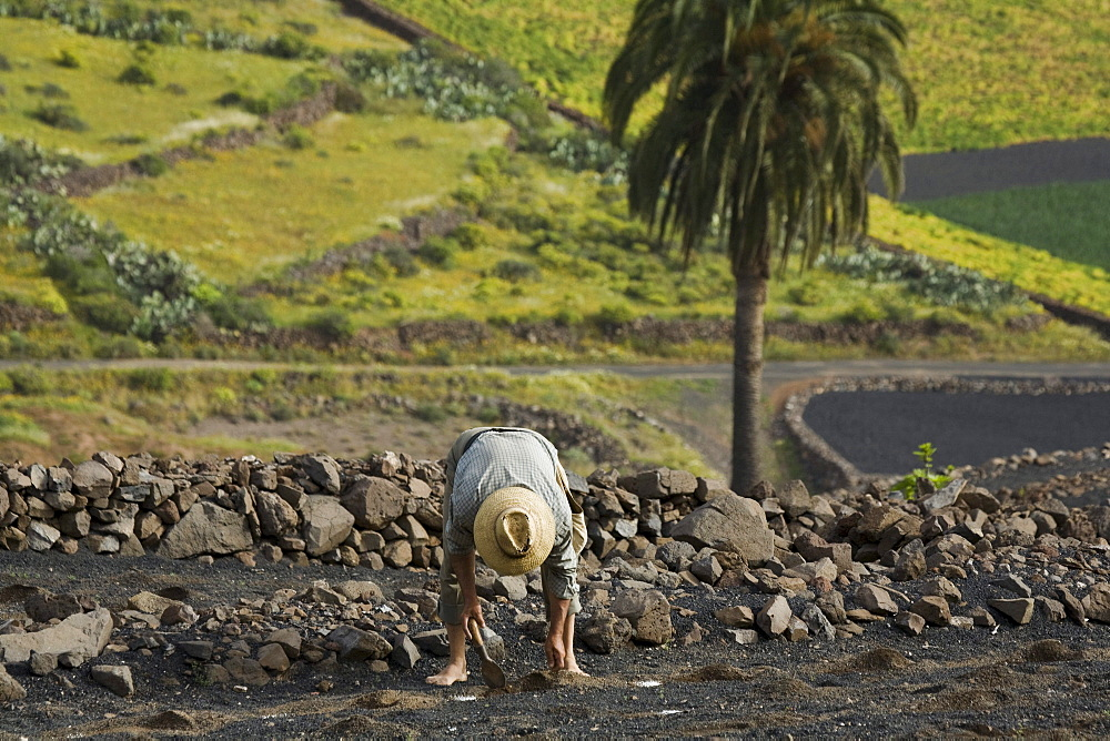 Farmer planting plants in lapilli fields, agriculture, Valle de Temisa, near Tabayesco, UNESCO Biosphere Reserve, Lanzarote, Canary Islands, Spain, Europe