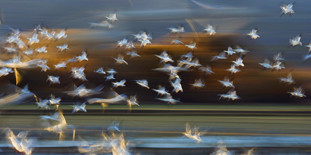 Snow Geese flight, abstract, Bosque del Apache, Anser caerulescens atlanticus, Chen caerulescens, New Mexico, USA