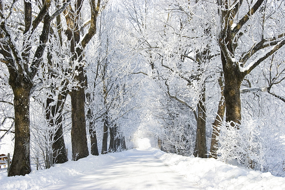 Alley in snow, winterscenery near Benediktbeuern, Upper Bavaria, Germany