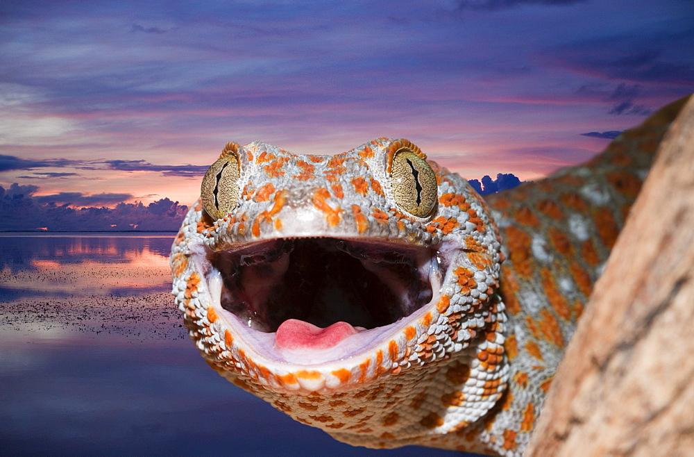 Tokay Gecko, Gekko gecko, Indonesia, West Papua, Misool