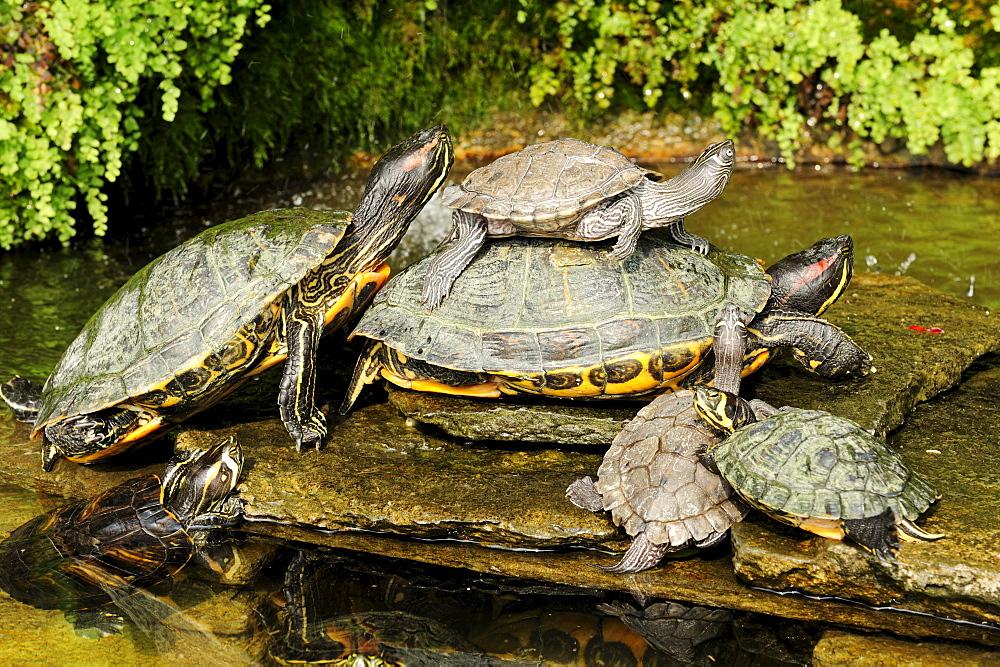Turtles on stones, Lake Como, Lombardy, Italy