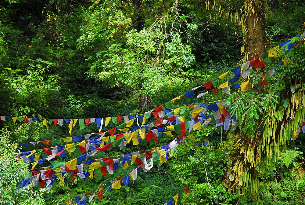 View at prayer flags between trees, Sikkim, Himalaya, Northern India, Asia