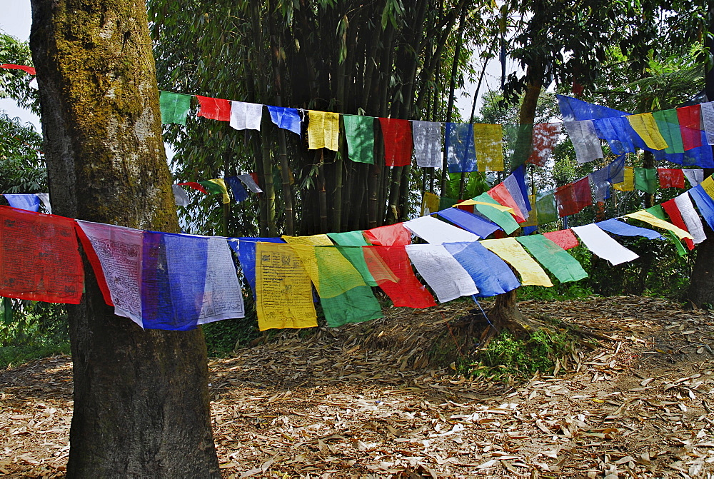 Prayer flags between trees at Enchey monastery, Sikkim, Himalaya, Northern India, Asia