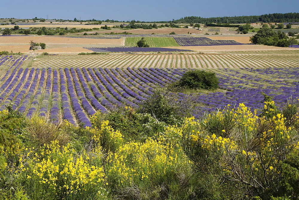 Blooming broom in front of landscape with lavender field, Vaucluse, Provence, France